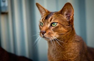 Peculiaridades del gato Abisinio