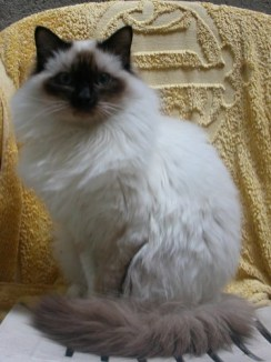 Características del gato Sagrado de Birmania