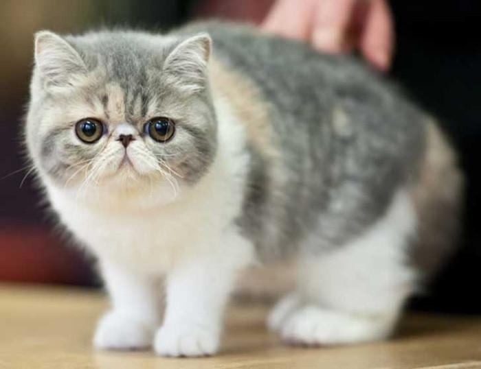 Carácter del gato exótico de pelo corto