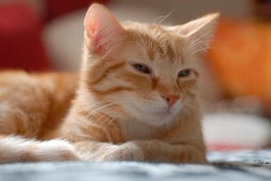 Cuidados del gato Común Europeo