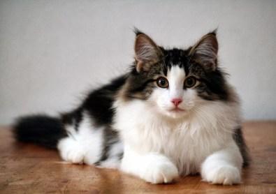 ¿Cómo es un gato de la raza Bosque de Noruega?