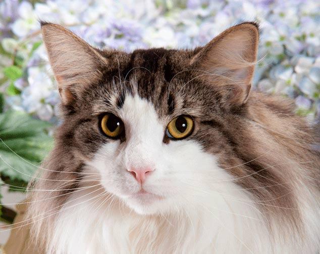 ¿Cuánto pesa un gato Bosque de Noruega?