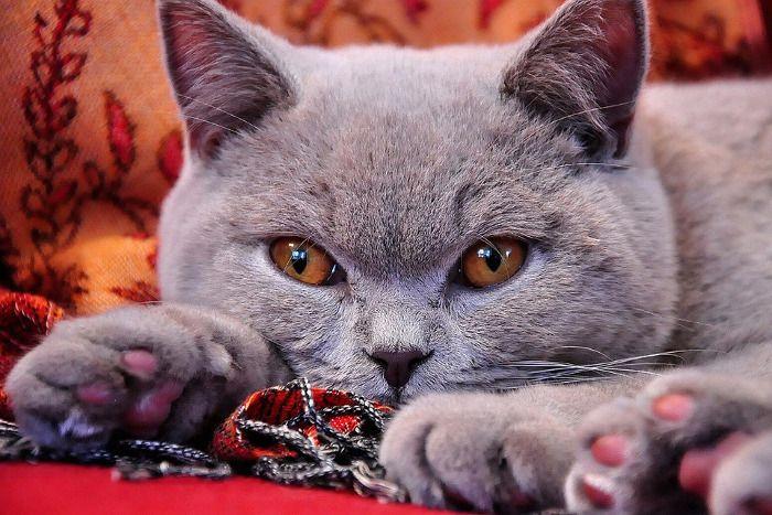 Colores del gato British