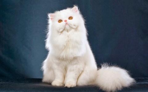 Gato Persa de ojos color ámbar