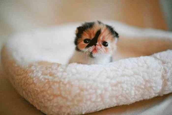 Gatito Persa Calicó recién nacido