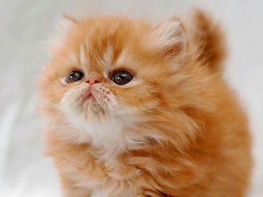 Cría de Gato Persa Tabby atigrado