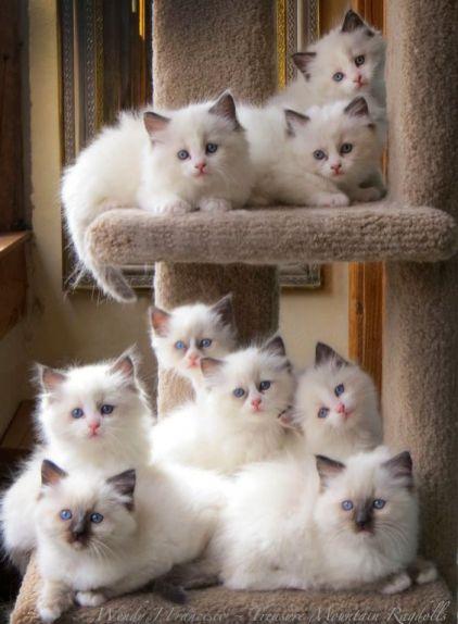¿Cómo son los cachorros de gato Ragdoll?