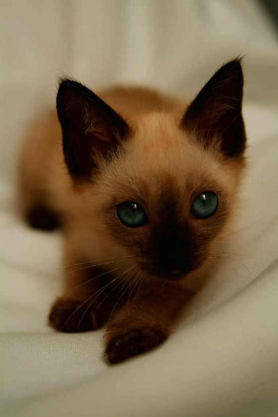 Gato siam s thai cr a de 1 mes mundo gato - Cuidados gato 1 mes ...