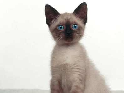 Bebé de gato Siamés