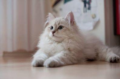 Gatos siberianos de color blanco