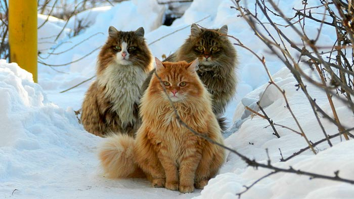 Pelaje del gato Siberiano