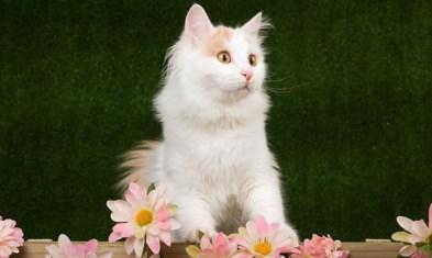 ¿Cuál es el temperamento del gato van turco?