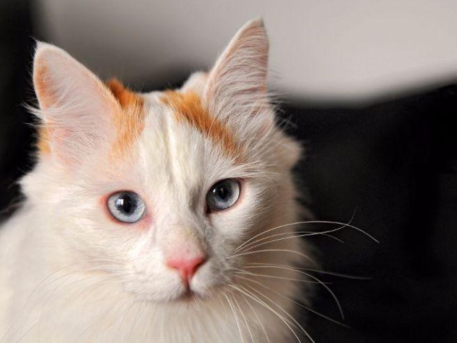 Características de la raza de gato van turco