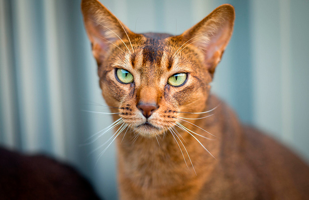 Origen del gato Abisinio