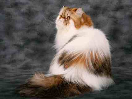 Gato Persa Calicó tres colores