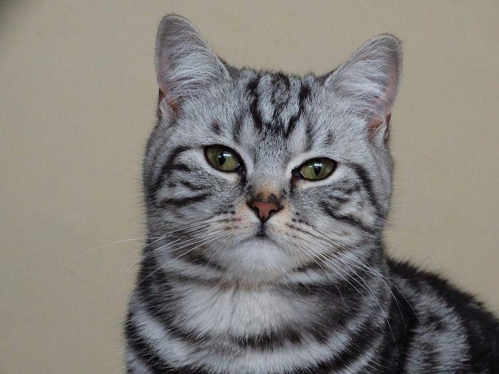 Gato inglés de pelo corto