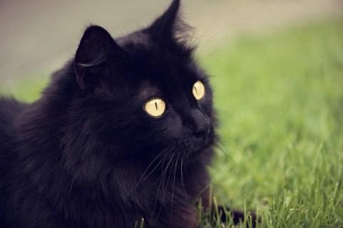 ¿Gato Angora o gato persa?