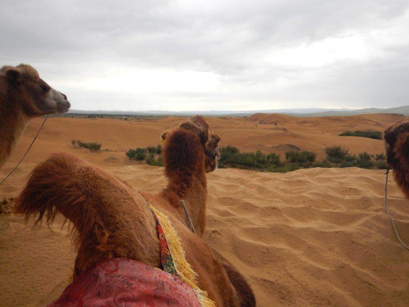 Camelos 03 Mongólia Mundo Indefinido