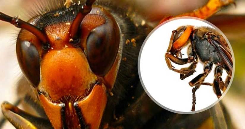 Tipos de avispa picaduras y como eliminarlas mundo insectos - Como ahuyentar avispas ...