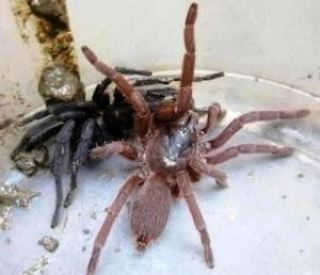 spider 2 Mysterious Tarantulas Spiders kill two people in Indian Village leaving Villagers in fear