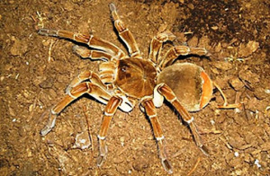 Misteriosas arañas 'Tarántulas' matan a dos personas en una aldea de la India dejando a los campesinos temerosos