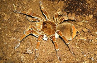 spider 3 - Mysterious Tarantulas Spiders kill two people in Indian Village leaving Villagers in fear