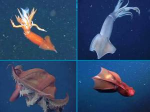 Increíbles vídeos de calamar vampiro del abismo y pulpo camuflándose