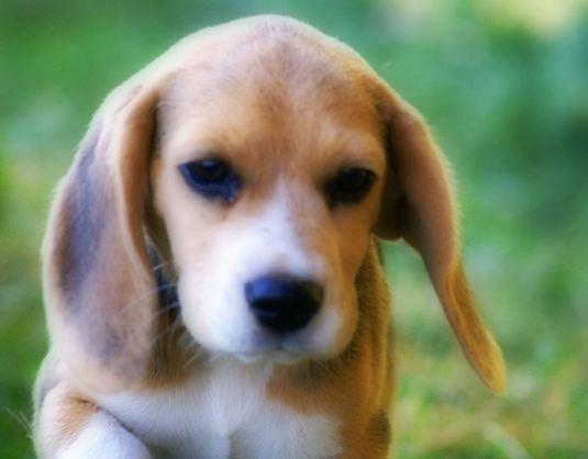 Beagle de 4 meses