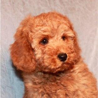 Caniche enano cachorro de color marrón.