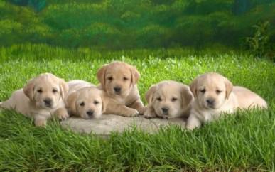 Bebés de Labrador Retriever de 4 meses