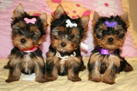 Yorkshire Terrier hembras de cachorros