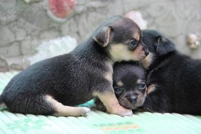 Bebés chihuahueños de dos meses