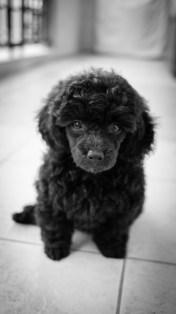 Cachorro de Caniche enano de dos meses