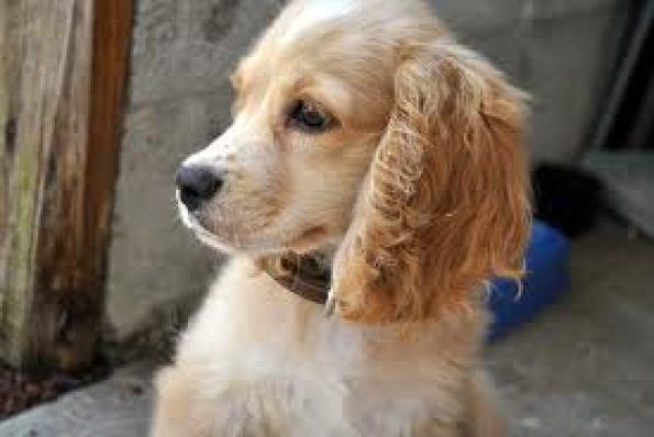 Cachorro de Cocker Spaniel con 4 meses
