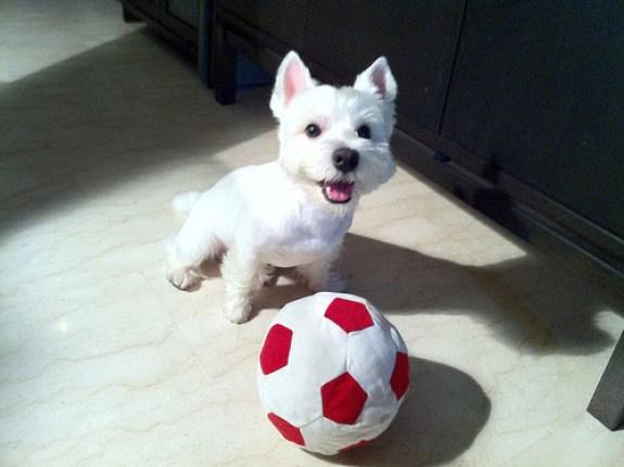 Cachorro terrier blanco activo