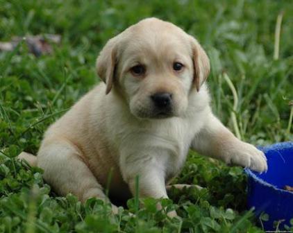 Cachorro de Golden Retriever de un mes