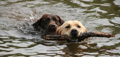 Carácter del perro Labrador Retriever