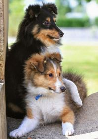Cachorro de Rough Collie