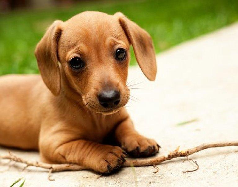 Cachorro marrón raza perro Dachshund