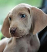 Cachorro de weimaraner
