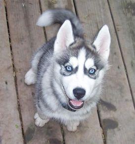 Perro cachorro Husky Siberiano gris