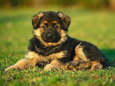 Cachorro de Pastor Alemán de 2 meses