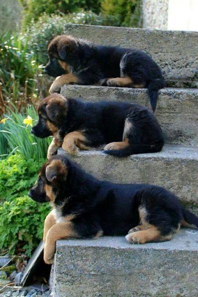 Cachorros de perros Pastor Alemán