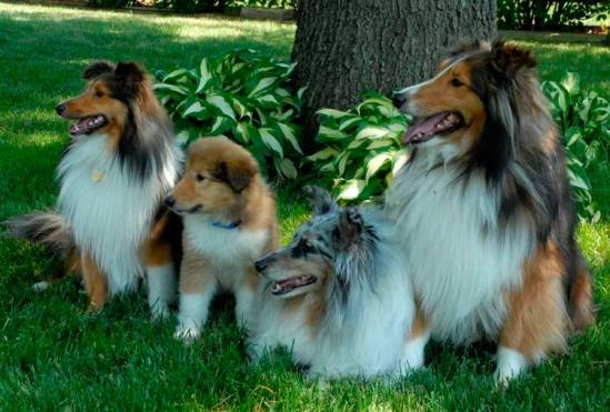 Características del Rough Collie