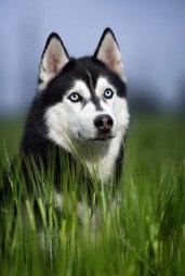 Adiestrar al Husky Siberiano