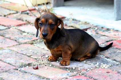Cachorro Perro Salchicha pelo duro