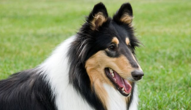 Carácter del Rough collie