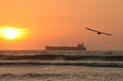 Pelicano - Peru