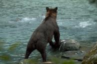 Ursos pescando salmão