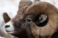Chamado de bighorn, ou chifrudo